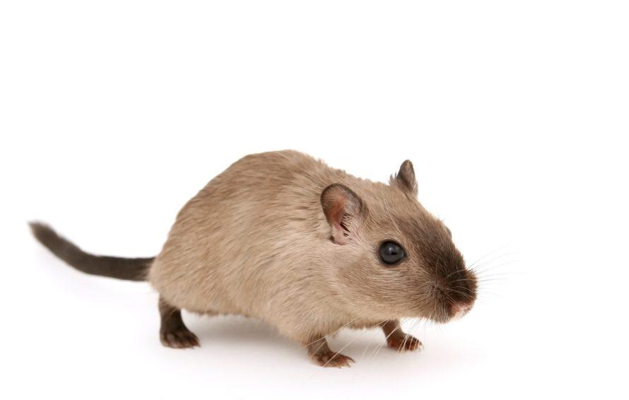 bestrijding van muizen huis