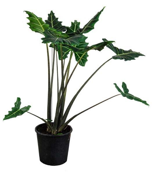 Alocasia Sarian plant