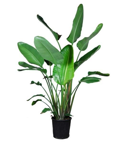 Strelitzia Nicolai plant