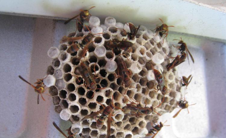 tips weghalen wespennest